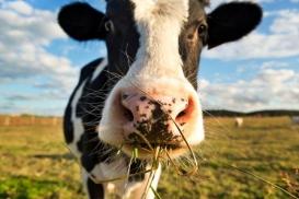 Cow Patty Classic